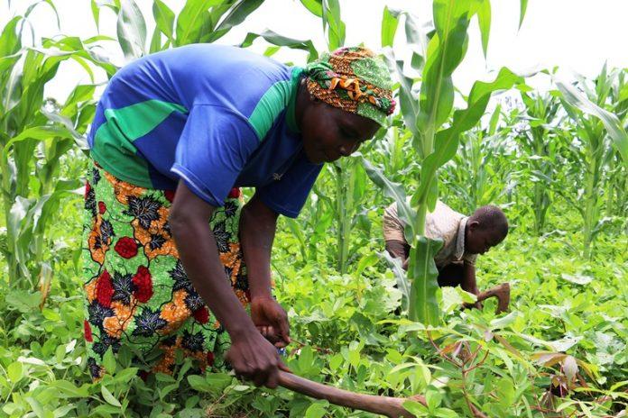 Centrafrique-agriculture-Ndjoni-Sango