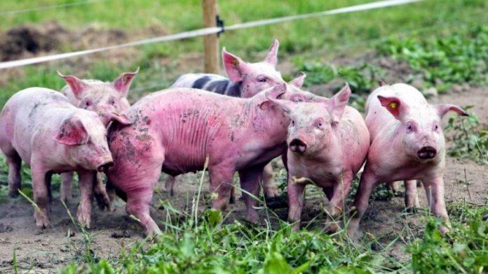 Centrafrique-peste-porcine-Ndjoni-Sango